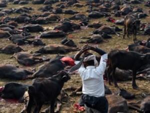 Het offeren van dieren, zoals hier in Nepal, is vaak een manier om Gods toorn af te wenden.